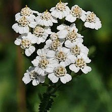 Yarrow (Blue)_edited.jpg