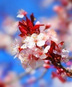 japanese cherry blossom_edited.jpg